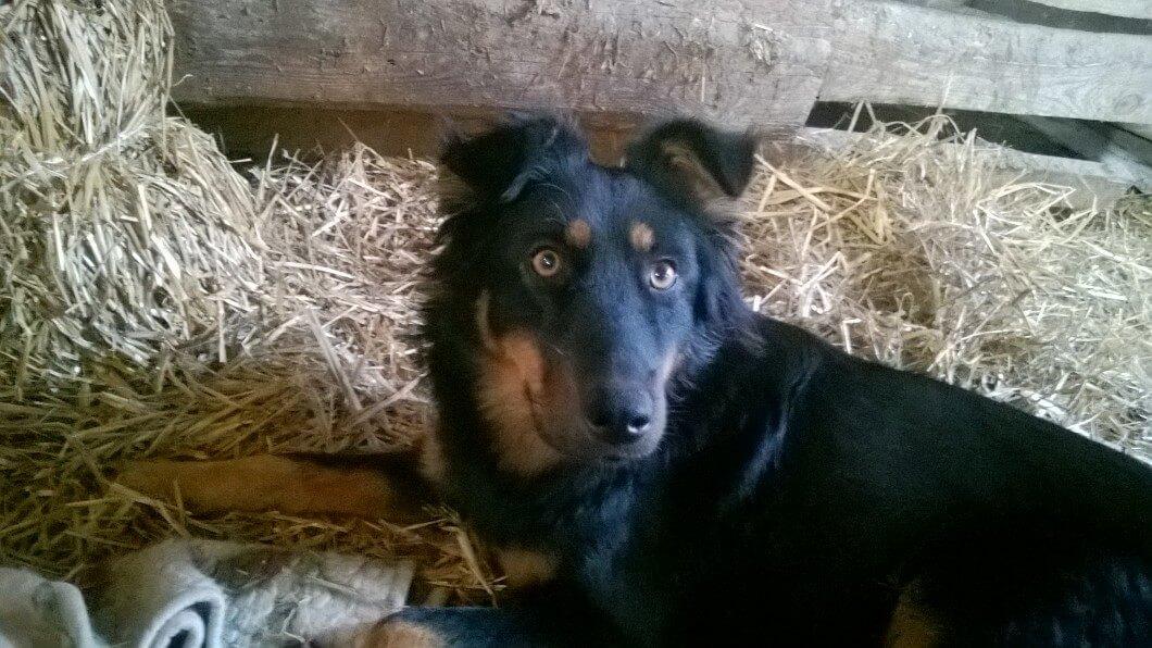 Odnalazł się pies w typie owczarka niemieckiego. Poszukujemy właściciela.